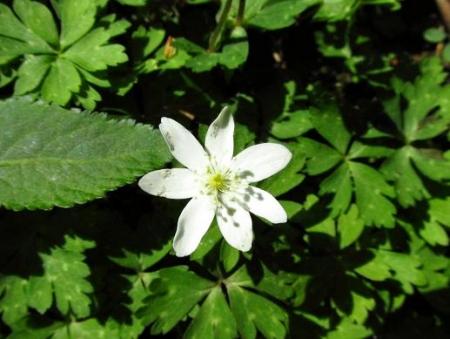 井原山の花ニリンソウ 139