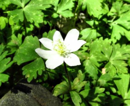 井原山の花ニリンソウ 132