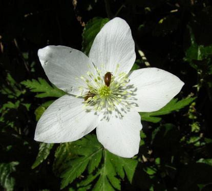 井原山の花ニリンソウ 206
