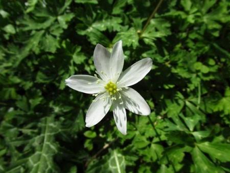 井原山の花ニリンソウ 219