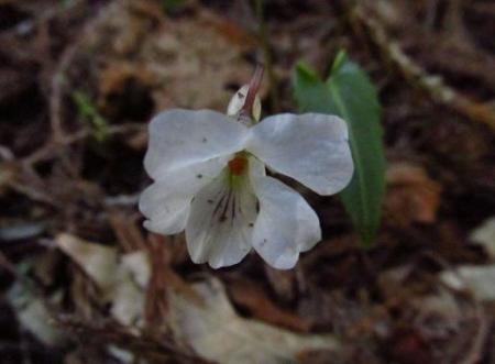 井原山の花ニリンソウ 251