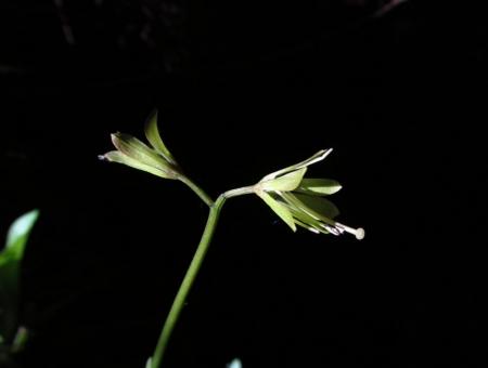 井原山の花ニリンソウ 321