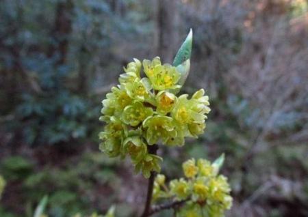 井原山の花ニリンソウ 290