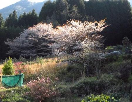 井原山の花ニリンソウ 344