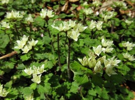 星野カラ迫岳の花と桜 053