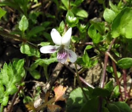 星野カラ迫岳の花と桜 142