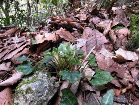 星野カラ迫岳の花と桜 113