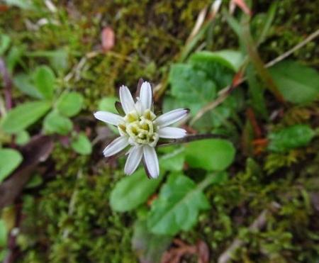 星野カラ迫岳の花と桜 151