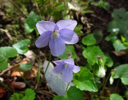 星野カラ迫岳の花と桜 059