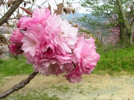 星野カラ迫岳の花と桜 209