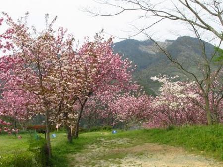 星野カラ迫岳の花と桜 206