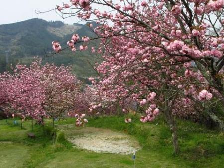 星野カラ迫岳の花と桜 204