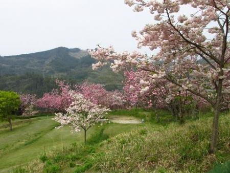 星野カラ迫岳の花と桜 200