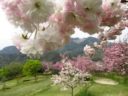 星野カラ迫岳の花と桜 199