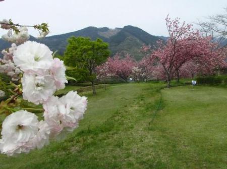 星野カラ迫岳の花と桜 195