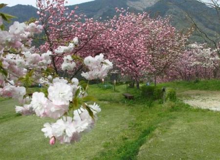 星野カラ迫岳の花と桜 205