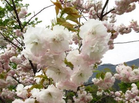星野カラ迫岳の花と桜 190