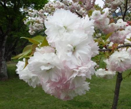 星野カラ迫岳の花と桜 192