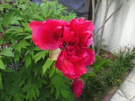 星野カラ迫岳の花と桜 226