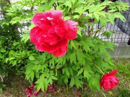 星野カラ迫岳の花と桜 004