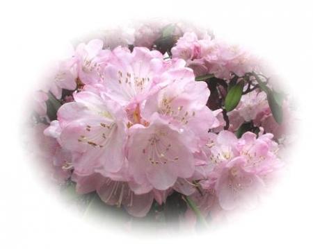 石楠花 144