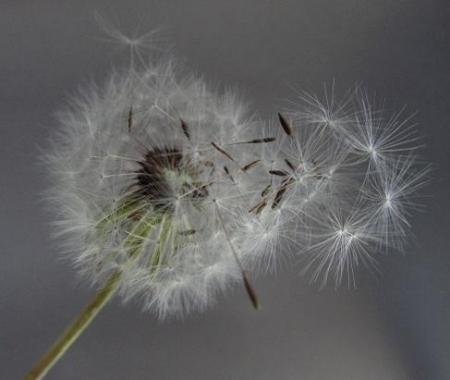 タンポポの種子 033