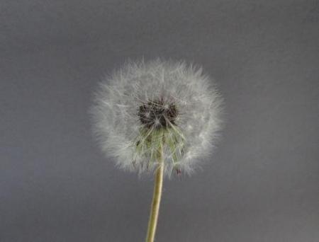 タンポポの種子 026