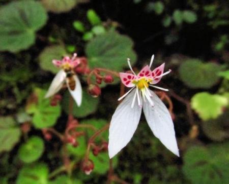 清水の卯の花 060