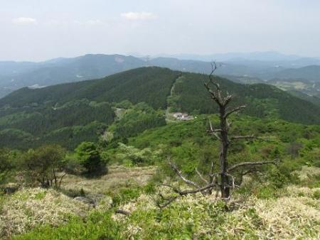 天山ミヤマキリシマ 069