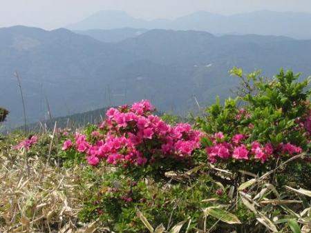 天山ミヤマキリシマ 152