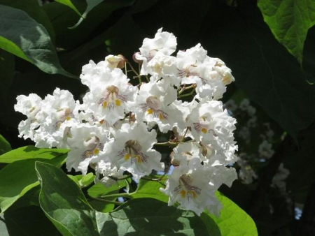 カタルパの花 015