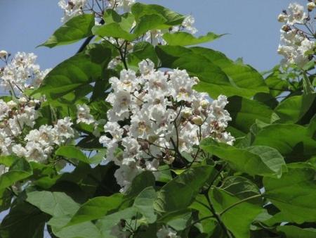カタルパの花 011