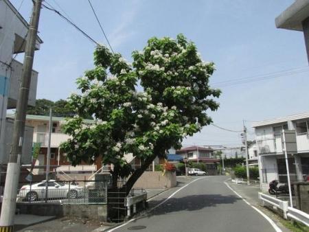 カタルパの花 004