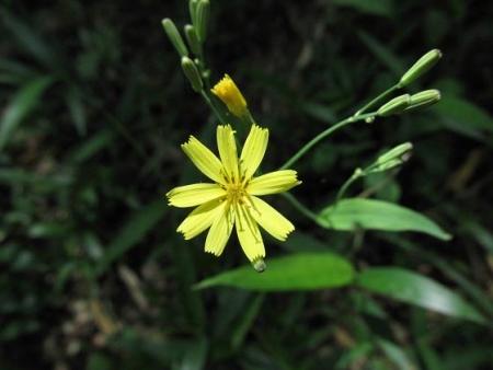カタルパの花 062