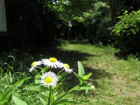 カタルパの花 077