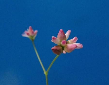 継子の花 001