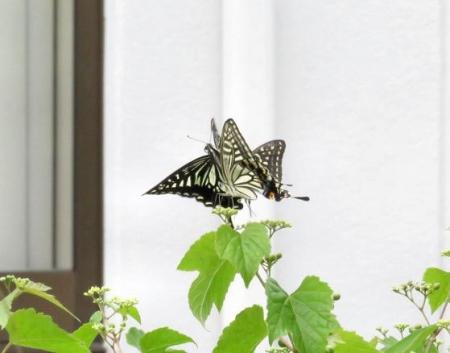 ムツゴロと蝶の舞 034