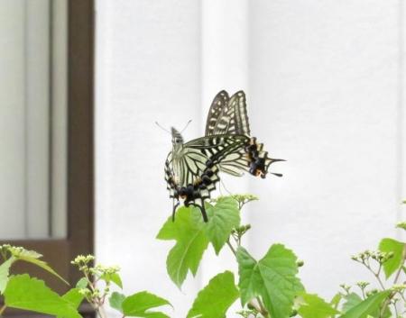 ムツゴロと蝶の舞 032