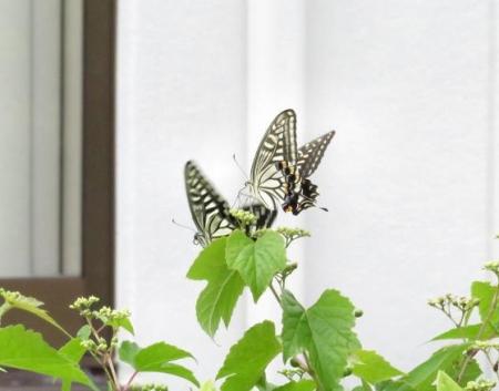 ムツゴロと蝶の舞 028