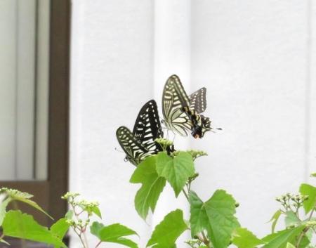 ムツゴロと蝶の舞 029