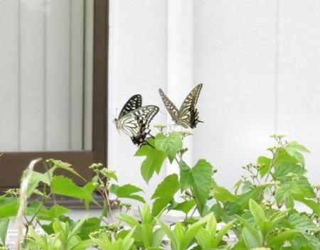 ムツゴロと蝶の舞 026