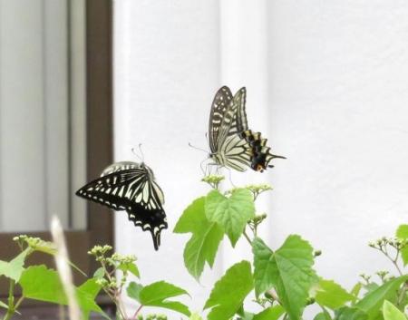 ムツゴロと蝶の舞 037