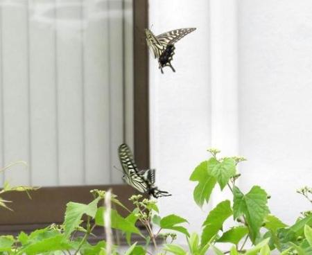 ムツゴロと蝶の舞 039