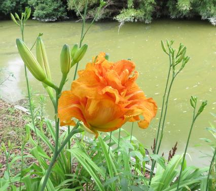 夏椿公園のチョウトンボと 017