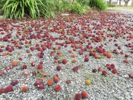 夏椿公園のチョウトンボと 022