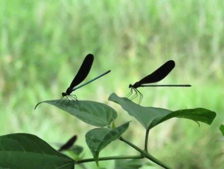 蜻蛉黒赤 024