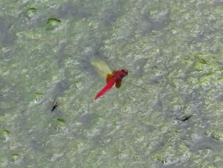 蜻蛉黒赤 089