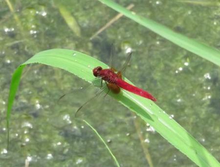 蜻蛉黒赤 091