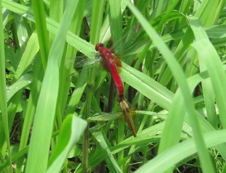 蜻蛉黒赤 104