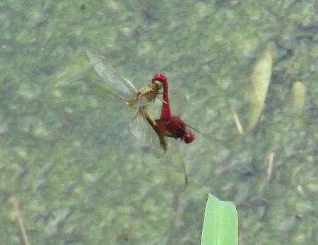 蜻蛉黒赤 092